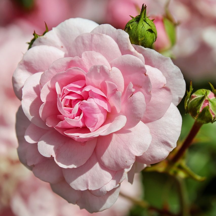 rose_02_1280