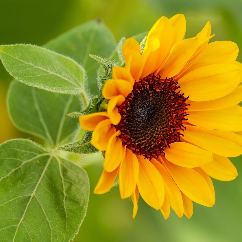 sun-flower_1280